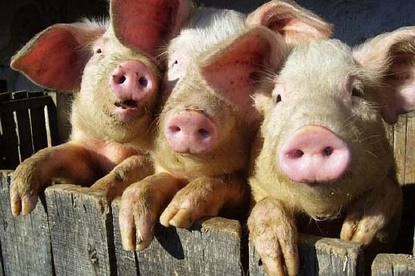 Можно ли на 4 сотках держать птицу и свиней?